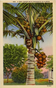 Postcard of a tree loaded with coconuts in Florida. Vintage Florida, Old Florida, Miami Florida, South Florida, Florida Trees, Florida Design, Vintage Postcards, Vintage Advertisements, Vintage Prints