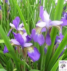 """SellPin.com: Pins for Sale by Owner: This Siberian Iris is a little different from my other purple Siberian Iris.  The outer petals are dark purple, and the inner petals are a lavender.  The clump is quite stunning.  The name is unknown.  This auction is for 6 fans.  We ship starting 5/1, weather dependent<BR /><CENTER><IMG SRC=""""http://pics.ebay.com/aw/pics/sell/templates/images/k2/tagline.gif"""" BORDER=""""0"""" /><BR /><FONT FACE=""""Arial,Helvetica...$7"""