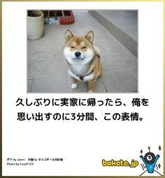 久しぶりに実家に帰ったら、俺を思い出すのに3分間、この表情。 Japanese Funny, Japanese Dogs, Cute Baby Animals, Animals And Pets, Funny Animals, Funny Images, Funny Pictures, Animal 2, Husky Puppy