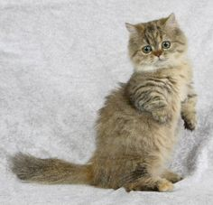 Napolean cat - hybrid breed created by breeding a Munchkin (short-legged breed that looks like a domestic cat) with a member of the Persian group (Persian, Himalayan, exotic shorthair).