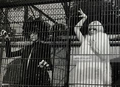 September1966, French film actress Brigitte Bardot, (born 1934), right,pictured wearing arctic fox fur while shooting an unusual scene at London Zoo for the film 'Two Weeks In September' , Brigitte Bardot, first appeared on screen in 1952, married Roger Vadim when she was 18 and became a major star after appearing in Director Vadim's 1956 film 'And God Created Woman', She became a blond international sex symbol and sex kitten appearing in many French productions, later in the 1960's…