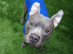 MEGAMAN - A1106982 - - Manhattan  TO BE DESTROYED 04/06/17  A volunteer writes: Megaman has the best superpower of all, the power of LOVE! He gives mega hugs and mega kisses and truly thinks he's a little lapdog, even though only about half of him fits on a lap. I just can't get enough of his handsome meatball head and silky soft fur and he can't get enough of my cuddles and attention. A true gentle giant and a total marshmallow, he's so timid around