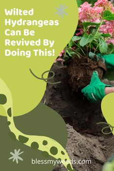 Hydrangeas can be revived by a few simple steps. Help is on the way! #flowergarden #blessmyweedsblog #hydrangeas #flowerguide Big Flowers, Purple Flowers, Spring Flowers, Beautiful Flowers, Hydrangea Care, Hydrangeas, Gutter Garden, Organic Gardening Tips, How To Preserve Flowers