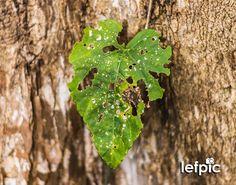 • Controle de Pragas - Em diversos tipos de plantas é comum notarmos a presença de larvas que se alimentam de suas folhas, deixando-as com algumas marcas, que por sua vez, prejudicam seu crescimento. No combate destas pragas, podemos usar agrotóxicos que impedem que estes animais destruam a lavoura. 📷 by @leandrof87  Download da imagem no #iStock: https://www.istockphoto.com/br/foto/flor-verde-em-uma-árvore-gm596797518-102291303  #plant #flower #leaf #garden #forest #home #environment