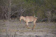 The Hirola (Hunters Hartebeest)