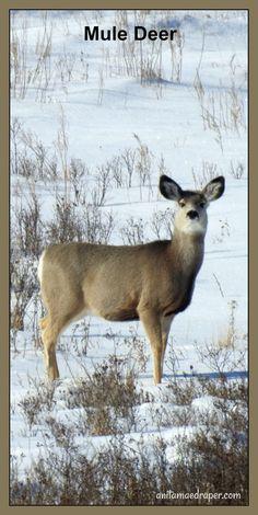Mule Deer, RM 125 Chester, SK, Feb 2018. Credit: Anita Mae Draper Canadian Wildlife, Mule Deer, Chester, Photos, Pictures, Blog, Animals, Image, Animales