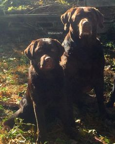 Chocolate love, photographed by Lori W. , Whitmans Labradors