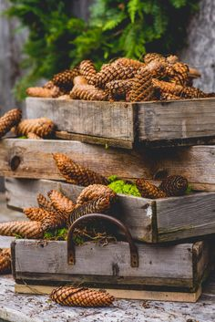 Collecting giant pincones for Fall crafting and decor