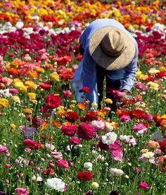 Working Away • The Flower Fields, Carlsbad   by Marcie Gonzalez
