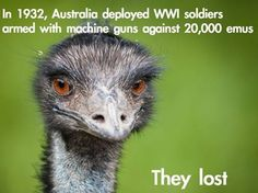 The Great Emu War was an effort to cull scores of emus that were destroying Australian farmlands. The emus proved too elusive and hard to kill, so the operation was abandoned, to the great embarrassment of the Australian Military.