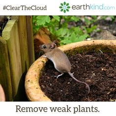 Weak or stressed plants attract predators and if you leave them in your garden, you'll invite unwanted guests. Pull the plant out and dispose of it far away from your growing harvest to avoid attracting pests. #ClearTheCloud #NaturalPestControl #SimpleSolutions