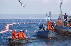 Cada año, durante el mes de mayo, tiene lugar en las costas de Cádiz, la tradicional pesca en la almadraba del atún rojo que procedente del Atlántico se adentra para desovar en el Mediterráneo. Para la captura de este pez, los pescadores de los pueblos costeros, Conil, Barbate, Tarifa y Zahara, utilizan las artes de pesca tradicionales, artes que se remontan a época de los fenicios y continuó con los romanos, quienes desalaban los atunes en la antigua
