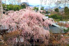 天龍寺の桜の見ごろは3月下旬~4月中旬。  #京都 #春 #kyoto #spring #japan