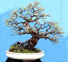 Hedge Sageretia (雀梅)
