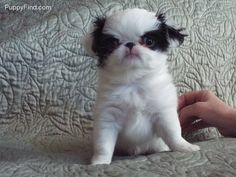 Fluffy puppies Japanese Chin Pictures (9cq43b7y9y7)
