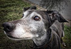 Mixed breed dogs tend to live longer and have fewer health problems than their pedigreed cousins