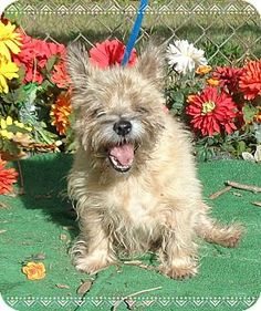 Marietta, GA - Cairn Terrier Mix. Meet EURO, a dog for adoption. http://www.adoptapet.com/pet/11693255-marietta-georgia-cairn-terrier-mix