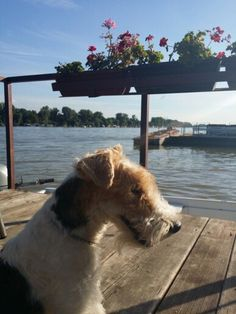 Bela fox terrier - river Sava
