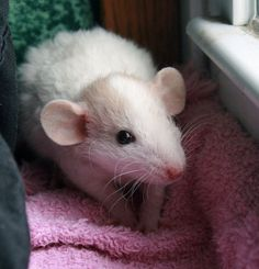 HALF RAT … HALF SHEEP? ;) This rat is of the REX variety. Curly fur. Also looks like a Dumbo rat. Dumbo rats have larger ears, lower down on the sides of their heads. Characteristically more docile if that's even possible. Rats are big mushies. <3