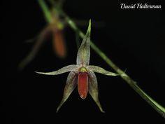 Platystele consobrina (tamaño de la flor 5 mm), de Antioquia a 2400 m snm, Colombia | by David Haelterman