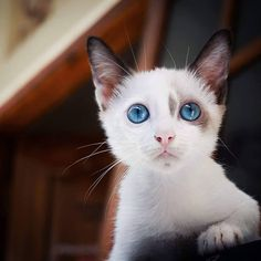 Behind blue eyes... #sanicat #sanicatpets #cats #cutecat #funny #funnycat #adorable #catsofinstagram #baby #cuddle #instacat #awesome #life #catlove #nap #sweet #adorable #lovely #gato #mypet #pet #animals #love#kittensareawesome #cute #instagood #instadaily