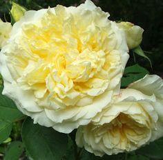 English rose 'The Pilgrim'