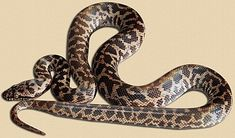 representative image of hatchling spotted python