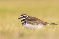 Killdeer in a Meadow - Bird Photo Print https://www.etsy.com/listing/562334125/killdeer-in-a-meadow-bird-photo-print