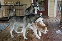 Natasha update - and we explain how we go about making canine medical decisions. #dog #siberianhusky #husky
