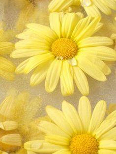 Yellow daisies ♥