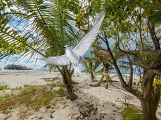 Picture of a white tern flying near a beach in the Seychelles