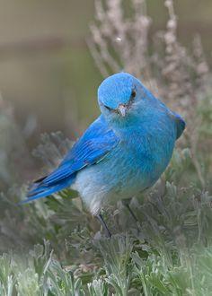The State of Idaho Bird, the Mountain Bluebird...beautiful!