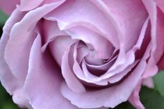 Light Purple Roses | photo Rose Photos, Purple Roses, Light Purple, Garden, Flowers, Plants, Beauty, Lawn And Garden, Florals