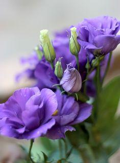 Эустома - Эустома (лат. Eustoma) — род растений семейства Горечавковые. Культивируемые цветы, относящиеся к этому роду, также имеют название Лизиантус (лат. Lisianthus — горький цветок).