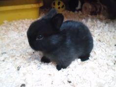 53 ideas for cute baby black dimples Mini Lop Bunnies, Dwarf Bunnies, Cute Baby Bunnies, Funny Bunnies, Cute Baby Animals, Cute Babies, Tiny Bunny, Dwarf Rabbit, Pet Rabbit