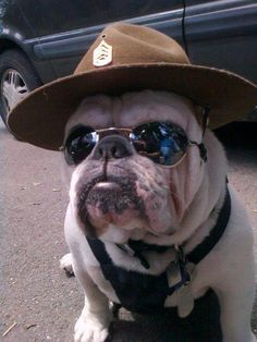 The major breeds of bulldogs are English bulldog, American bulldog, and French bulldog. The bulldog has a broad shoulder which matches with the head. Halloween Costume Dog, Pet Costumes, English Bulldog Funny, English Bulldog Puppies, English Bulldogs, Funny Bulldog, French Bulldogs, Cute Funny Animals, Cute Baby Animals