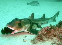 A Port Jackson Shark with an egg case in its mouth