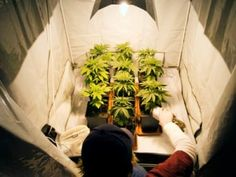 There are 2 common ways to grow weed. You can grow your weed indoors or outdoors. Each of these methods require their own set of rules because they require different habitat options and give different products at the end. We will talk here about growing great marijuana indoors.