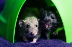 Rat love