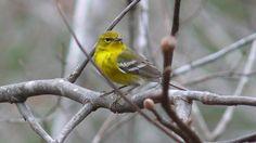 Pine Warbler - Birds Reference Library - redOrbit
