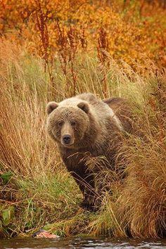 Brown Bear                                                                                                                                                                                 More