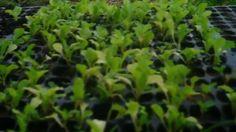 Como Plantar Muda De Alface Em Garrafa Pet
