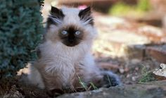 The Himalayan is a beautiful cat with a sweet personality. Learn more here about this breed. http://www.cleaverkittycats.com/product-category/carriers-strollers/strollers/