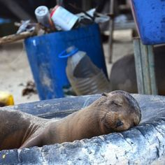 Time for a nap. Galapagos islands.