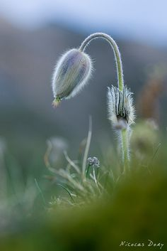 Spring Pasque flower