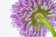 Tips for growing allium from harvested seeds