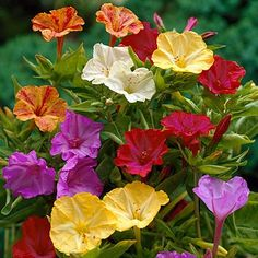 Four O'Clocks flower bulbs. Low-growing, bushy plants with colorful flowers. Easy planting instructions and videos. Guaranteed to Grow. Spring Flowering Bulbs, Bulb Flowers, Colorful Flowers, Flowers, Pretty Flowers, Drought Resistant Plants, Plants, Flowers That Attract Hummingbirds, Spring Flowers