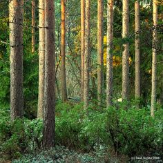 Beautiful Finland forest: morning light