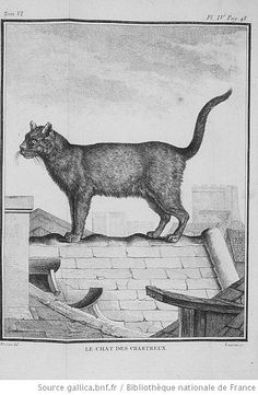 """""""The Chartreux Cat"""" (Catus coeruleus) from """"The Natural History of Buffon"""" (1749–1788) via Wikimedia Commons."""