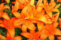 Résultats de recherche d'images pour «lily flowers»